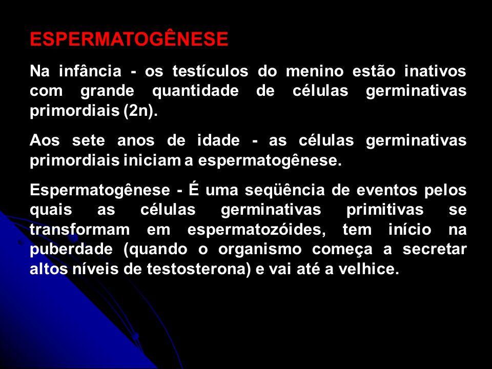 Gametogênese (espermatogênese) Células germinativas (2n) Período germinativo Período de crescimento Período de maturação Período de diferenciação Espermatozóides Mitoses 2n Mitose 2n Meiose nn nnnn nnnn 2n Crescimento sem divisão celular Espermatogônia Espermatócito I (2n) Espermatócitos II (n cromossomos duplicados) Espermátides (n)