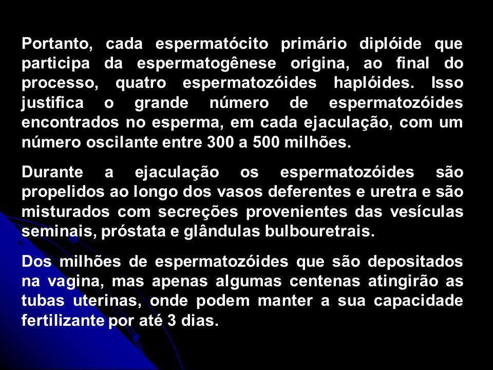 Portanto, cada espermatócito primário diplóide que participa da espermatogênese origina, ao final do processo, quatro espermatozóides haplóides. Isso