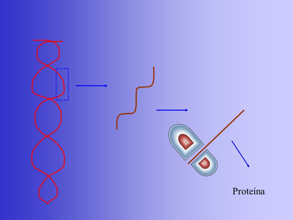 Um casal, ambos polidáctilos e de visão normal, tem uma criança normal para polidactilia, mas míope.