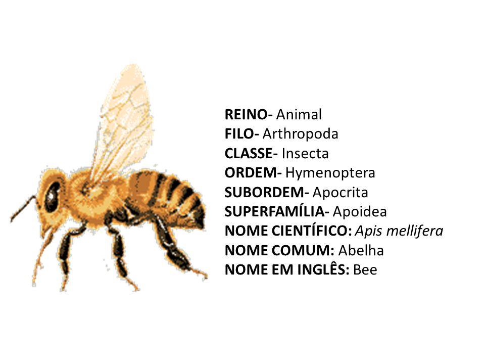 REINO- Animal FILO- Arthropoda CLASSE- Insecta ORDEM- Hymenoptera SUBORDEM- Apocrita SUPERFAMÍLIA- Apoidea NOME CIENTÍFICO: Apis mellifera NOME COMUM: