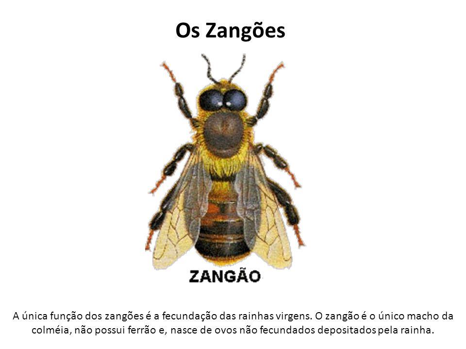 Os Zangões A única função dos zangões é a fecundação das rainhas virgens. O zangão é o único macho da colméia, não possui ferrão e, nasce de ovos não