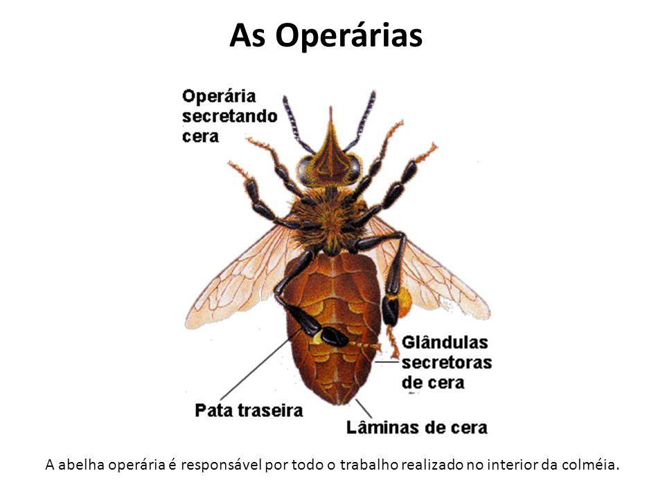 Como as abelhas trazem o Alimento Elas colhem o néctar das flores com suas compridas línguas.