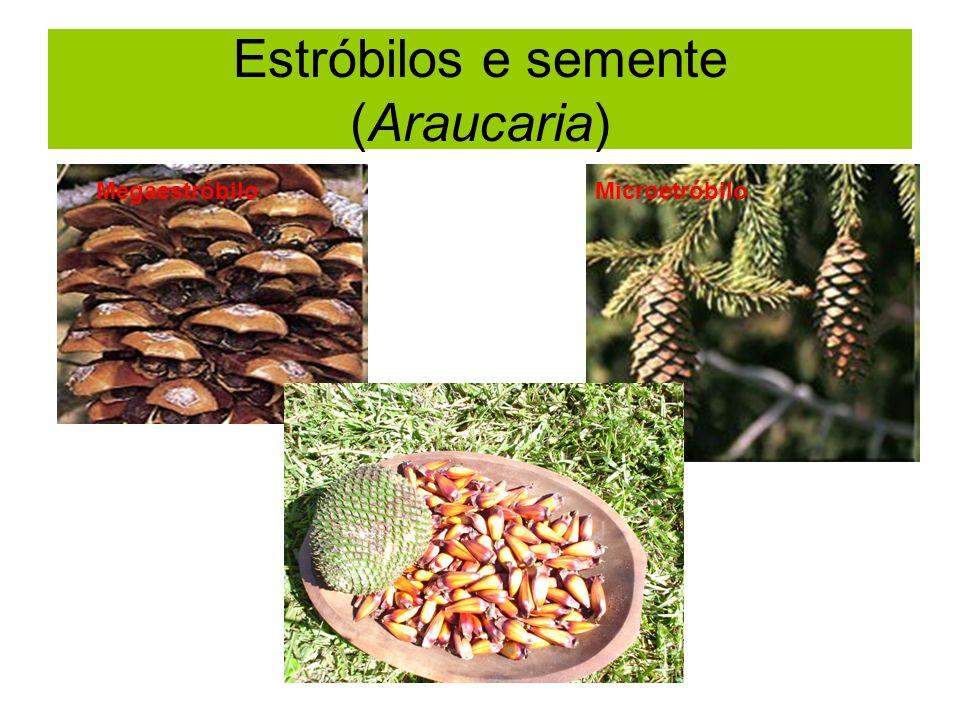 Estróbilos e semente (Araucaria) MegaestróbiloMicroetróbilo
