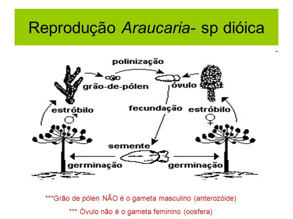 Reprodução Araucaria- sp dióica ***Grão de pólen NÃO é o gameta masculino (anterozóide) *** Óvulo não é o gameta feminino (oosfera)