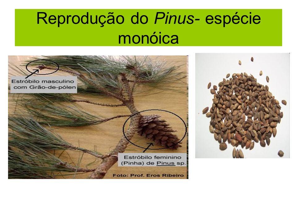 Reprodução do Pinus- espécie monóica