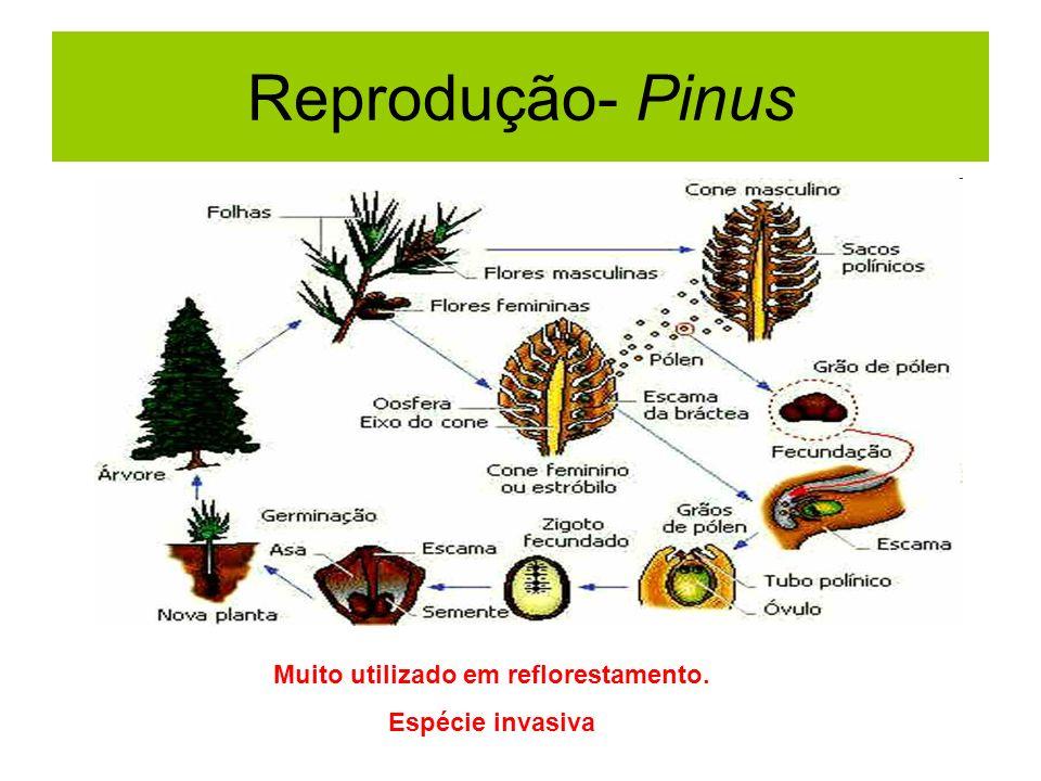 Reprodução- Pinus Muito utilizado em reflorestamento. Espécie invasiva