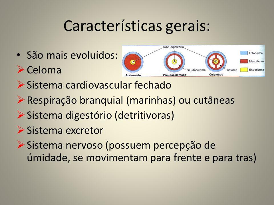 Características gerais: São mais evoluídos: Celoma Sistema cardiovascular fechado Respiração branquial (marinhas) ou cutâneas Sistema digestório (detr