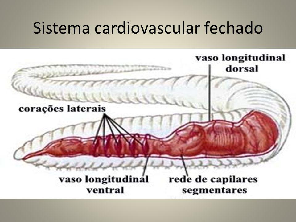 Sistema cardiovascular fechado