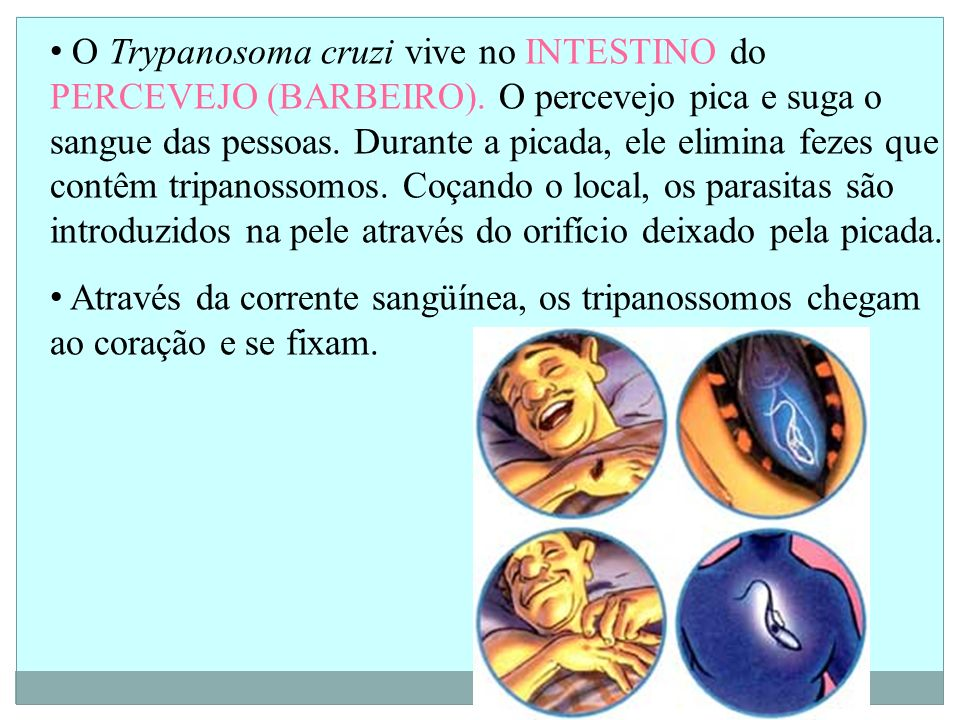 O Trypanosoma cruzi vive no INTESTINO do PERCEVEJO (BARBEIRO).