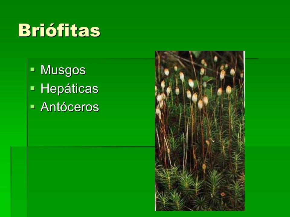 Briófitas Musgos Musgos Hepáticas Hepáticas Antóceros Antóceros