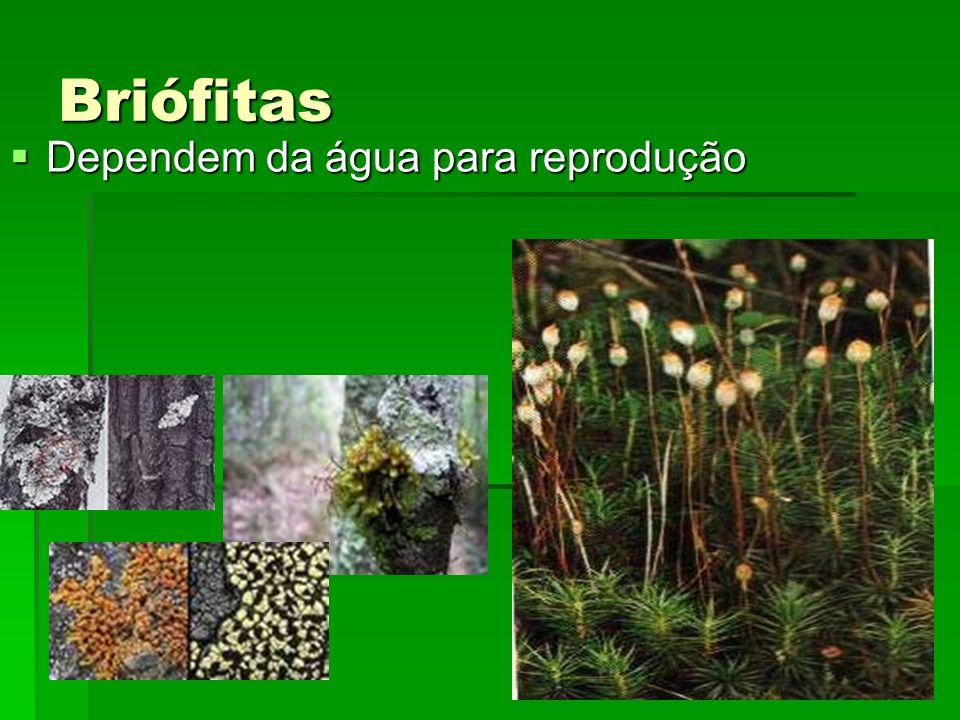 Briófitas Dependem da água para reprodução Dependem da água para reprodução
