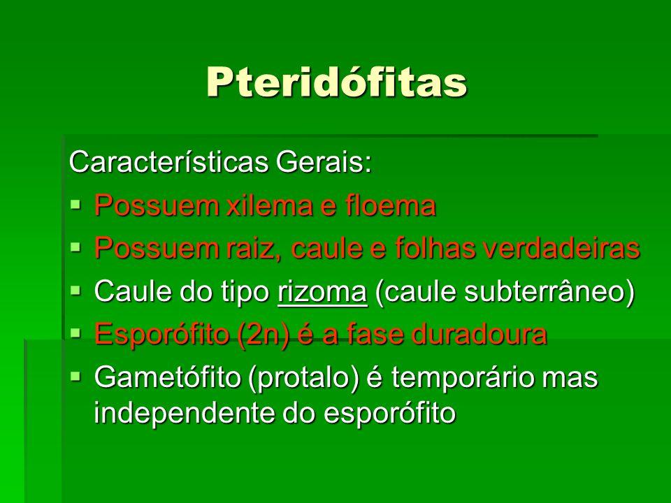 Pteridófitas Características Gerais: Possuem xilema e floema Possuem xilema e floema Possuem raiz, caule e folhas verdadeiras Possuem raiz, caule e fo