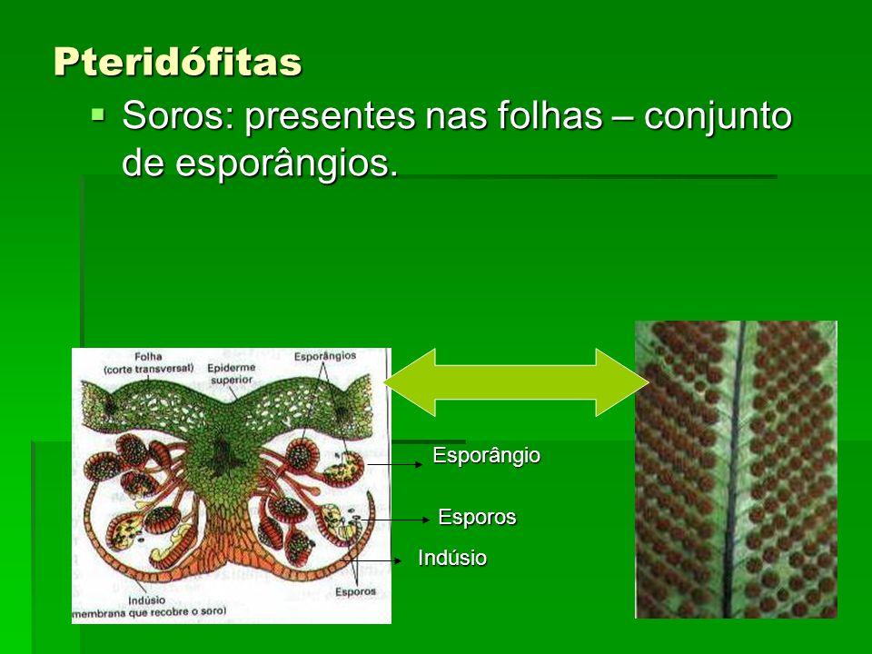 Pteridófitas Soros: presentes nas folhas – conjunto de esporângios. Soros: presentes nas folhas – conjunto de esporângios. Indúsio Esporângio Esporos