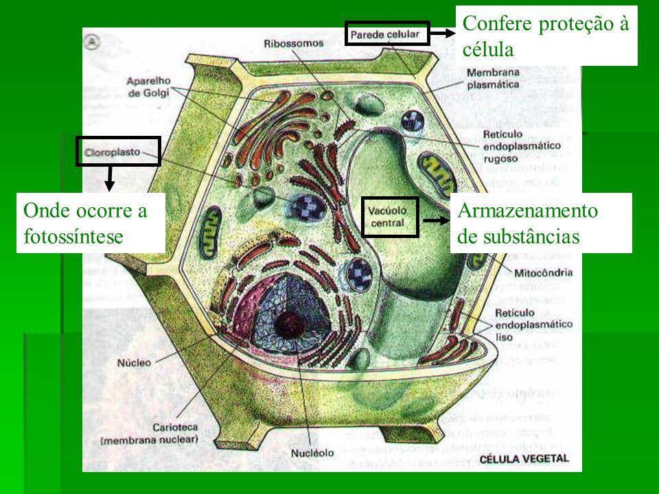 Confere proteção à célula Armazenamento de substâncias Onde ocorre a fotossíntese