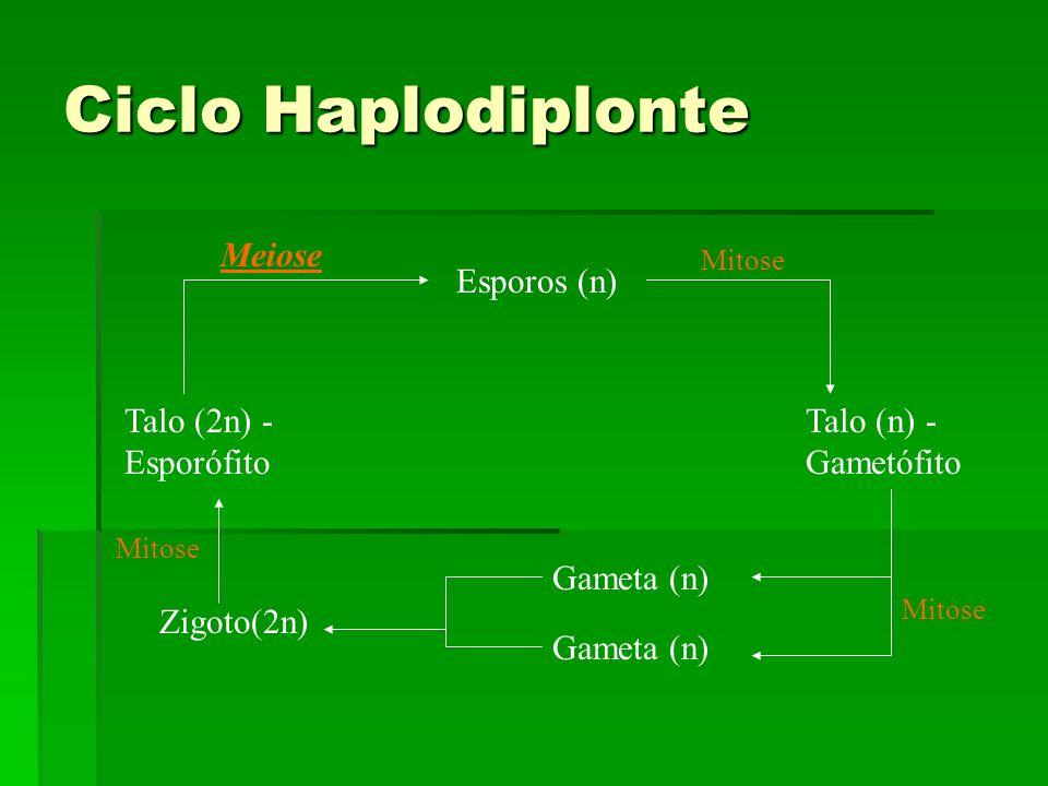 Ciclo Haplodiplonte Talo (2n) - Esporófito Talo (n) - Gametófito Esporos (n) Gameta (n) Zigoto(2n) Meiose Mitose