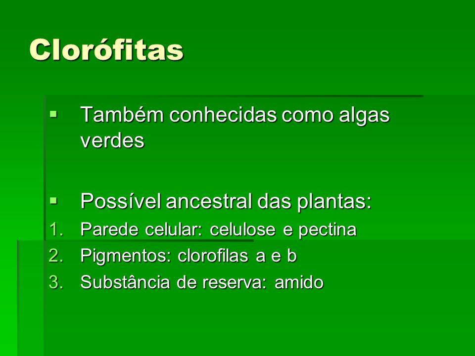 Clorófitas Também conhecidas como algas verdes Também conhecidas como algas verdes Possível ancestral das plantas: Possível ancestral das plantas: 1.P