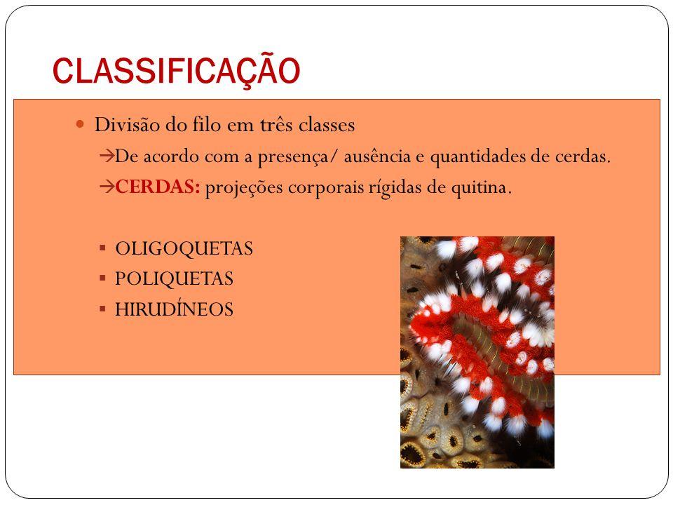 CLASSIFICAÇÃO Divisão do filo em três classes De acordo com a presença/ ausência e quantidades de cerdas. CERDAS: projeções corporais rígidas de quiti