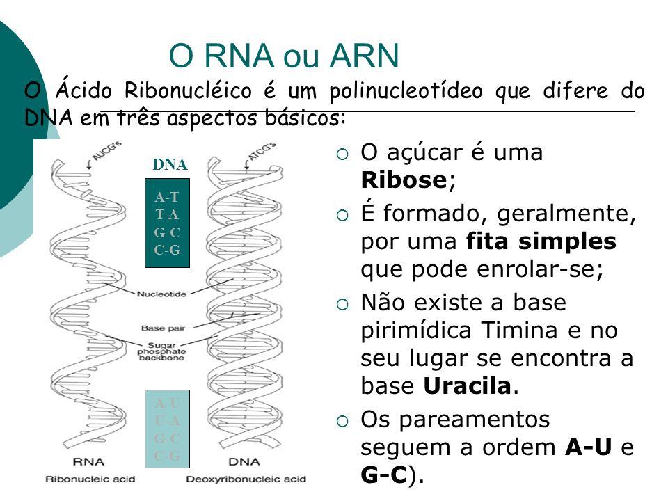 O RNA ou ARN O açúcar é uma Ribose; É formado, geralmente, por uma fita simples que pode enrolar-se; Não existe a base pirimídica Timina e no seu luga