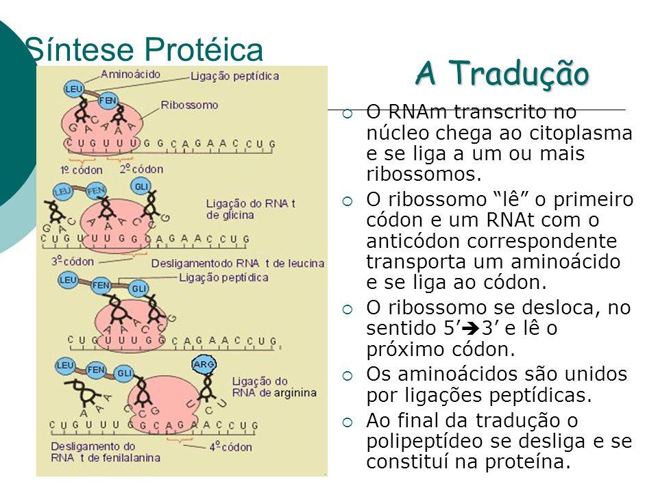 Síntese Protéica O RNAm transcrito no núcleo chega ao citoplasma e se liga a um ou mais ribossomos. O ribossomo lê o primeiro códon e um RNAt com o an