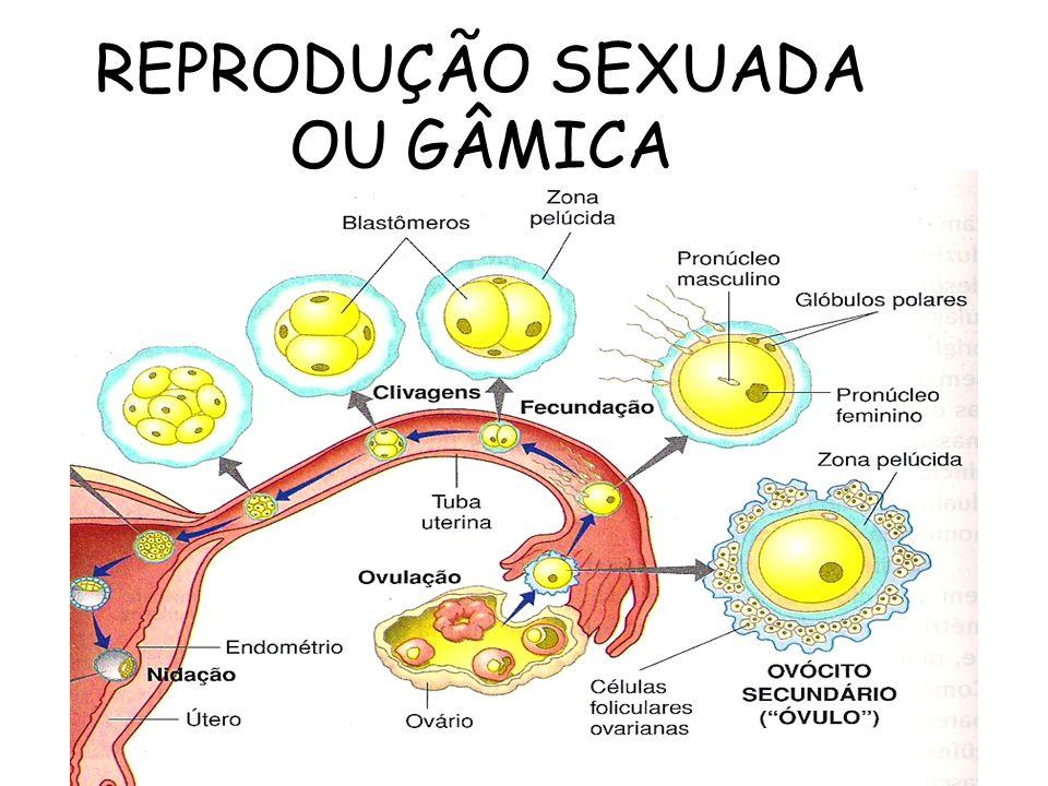 REPRODUÇÃO SEXUADA OU GÂMICA