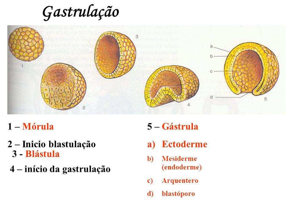 Gastrulação 1 – Mórula 2 – Inicio blastulação 5 – Gástrula a)Ectoderme b)Mesiderme (endoderme) c)Arquentero d)blastóporo 3 - Blástula 4 – início da ga
