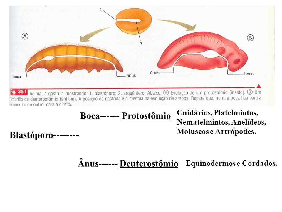 Blastóporo-------- Boca------ Ânus------ Protostômio Deuterostômio Cnidários, Platelmintos, Nematelmintos, Anelídeos, Moluscos e Artrópodes. Equinoder