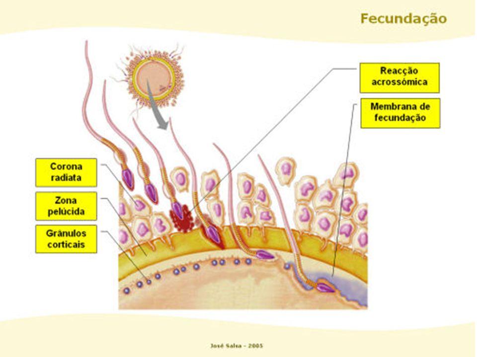 A - óvulo B – óvulo fecundado C – início da 1ª clivagem D – 2 células E e F – 4 células G – 8 células H – mórula I - blástula