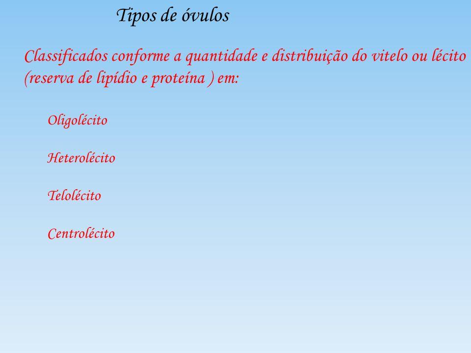 Tipos de óvulos Classificados conforme a quantidade e distribuição do vitelo ou lécito (reserva de lipídio e proteína ) em: Oligolécito Heterolécito T