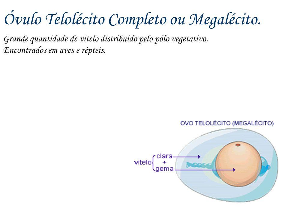 Óvulo Telolécito Completo ou Megalécito. Grande quantidade de vitelo distribuído pelo pólo vegetativo. Encontrados em aves e répteis.