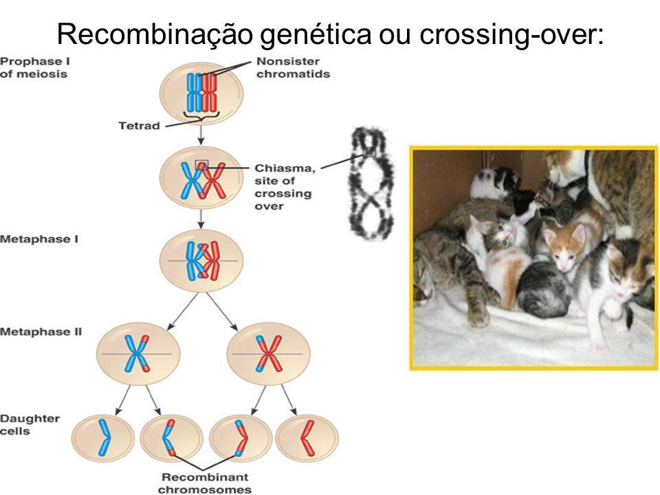 Recombinação genética ou crossing-over: