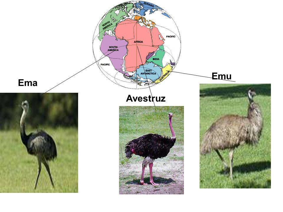 Ema Avestruz Emu