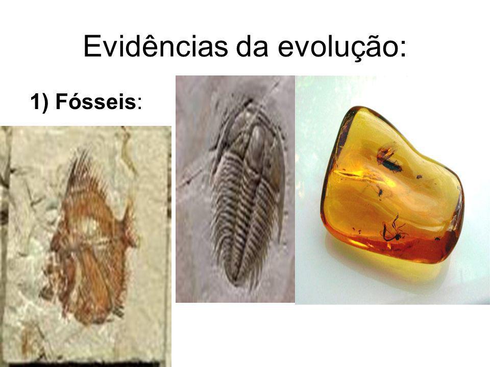 Evidências da evolução: 1) Fósseis: