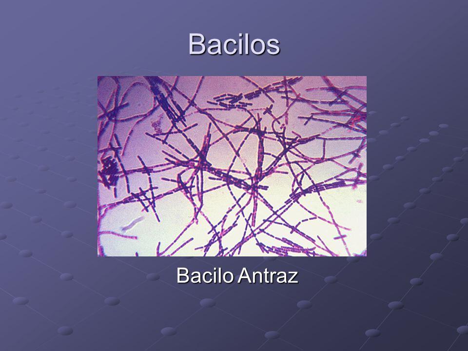 Bacilos Bacilo Antraz