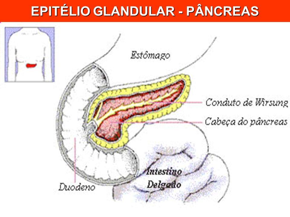 EPITÉLIO GLANDULAR - PÂNCREAS
