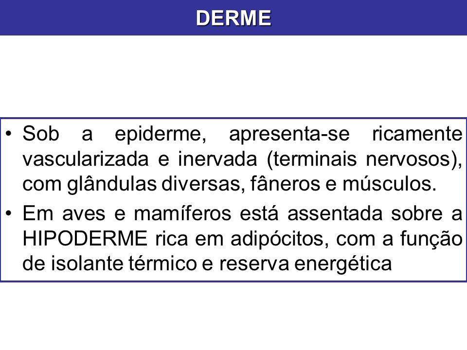Sob a epiderme, apresenta-se ricamente vascularizada e inervada (terminais nervosos), com glândulas diversas, fâneros e músculos. Em aves e mamíferos