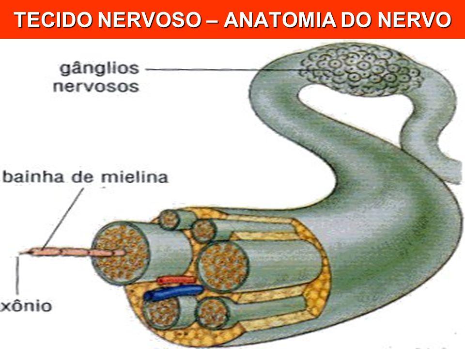 TECIDO NERVOSO – ANATOMIA DO NERVO