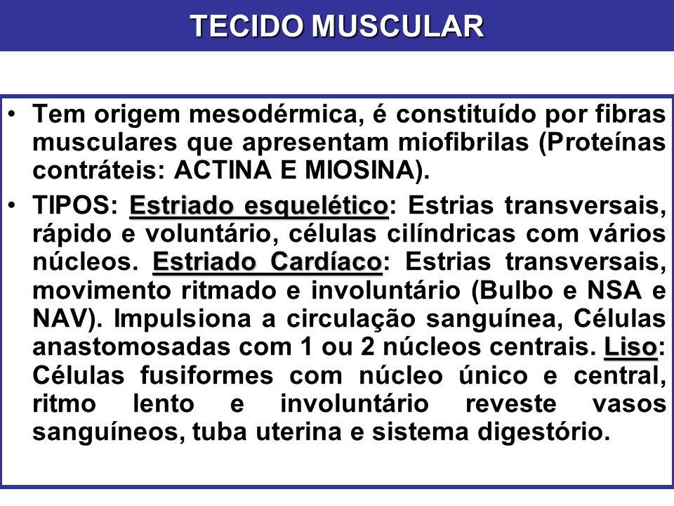 Tem origem mesodérmica, é constituído por fibras musculares que apresentam miofibrilas (Proteínas contráteis: ACTINA E MIOSINA). Estriado esquelético