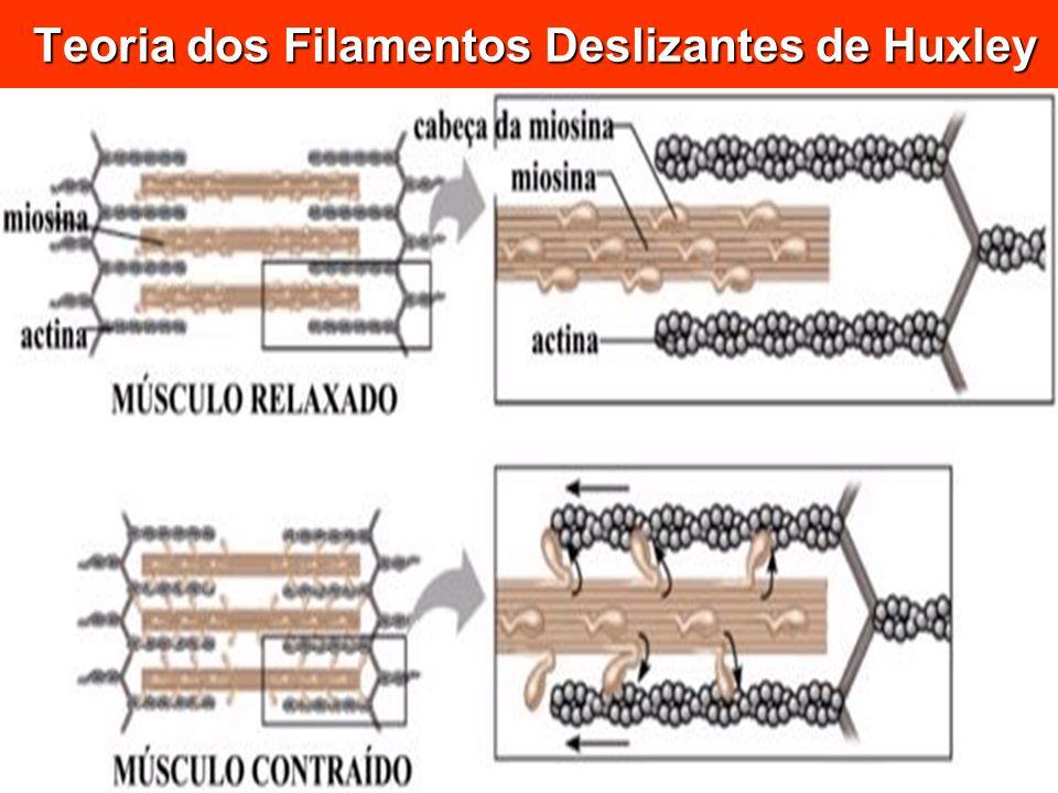 Teoria dos Filamentos Deslizantes de Huxley Teoria dos Filamentos Deslizantes de Huxley
