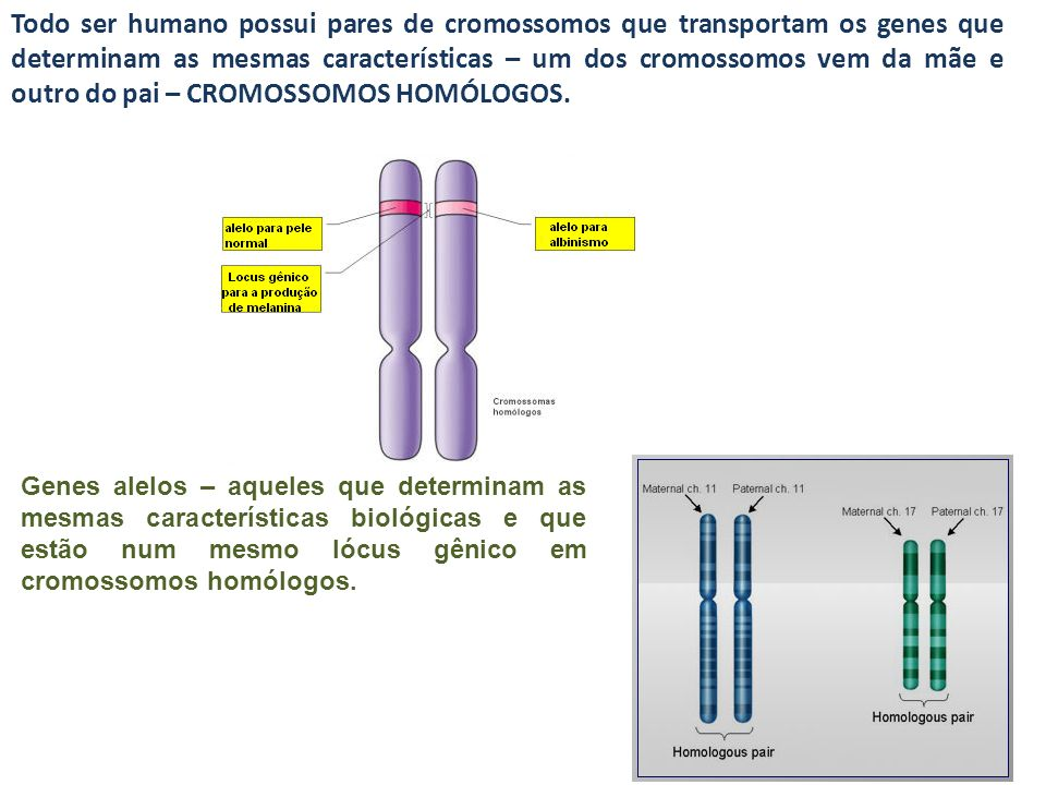 Todo ser humano possui pares de cromossomos que transportam os genes que determinam as mesmas características – um dos cromossomos vem da mãe e outro
