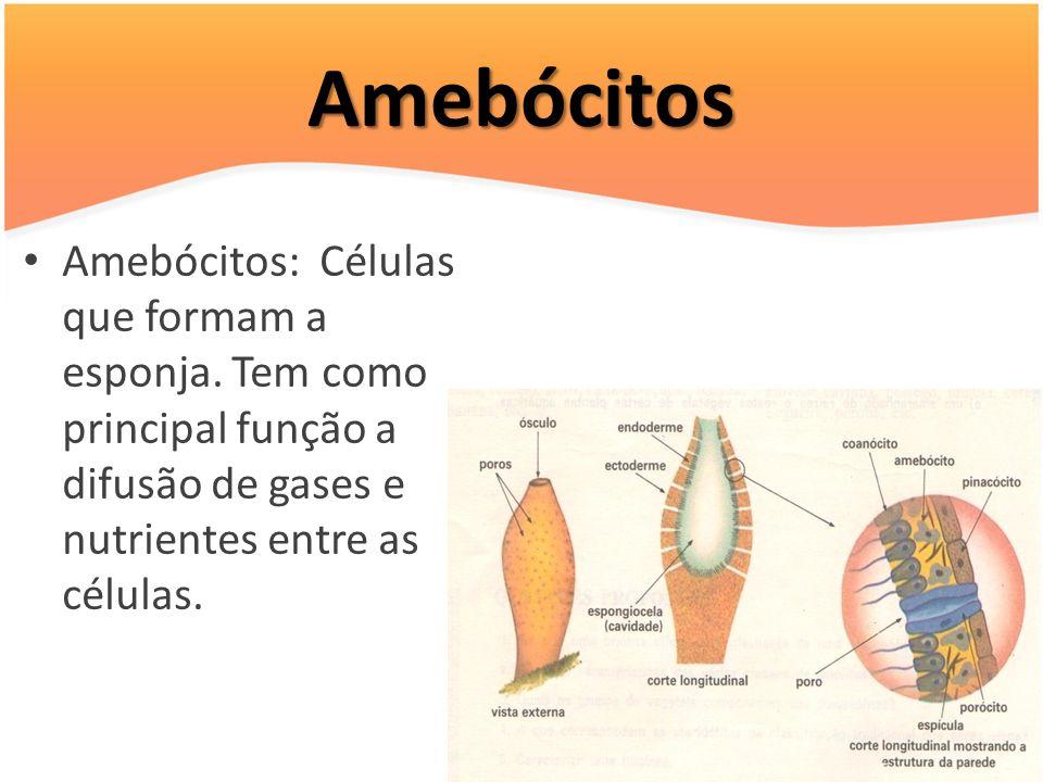 Amebócitos Amebócitos: Células que formam a esponja. Tem como principal função a difusão de gases e nutrientes entre as células.