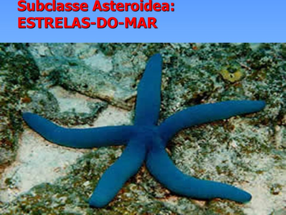 OURIÇO-DO-MAR CLASSE ECHINOIDEA