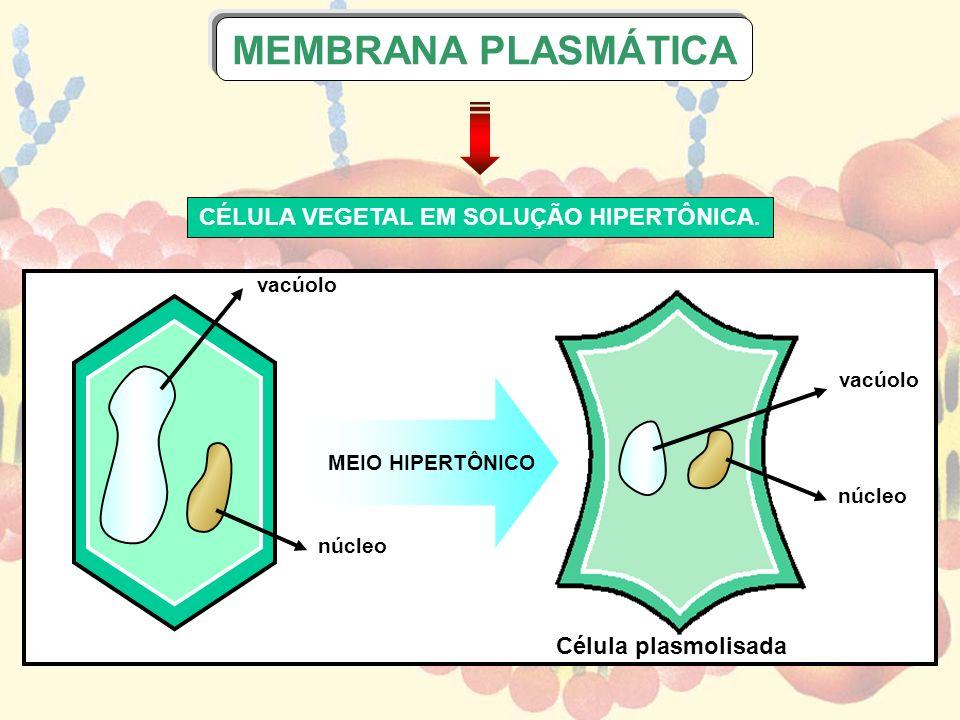MEIO HIPERTÔNICO vacúolo núcleo vacúolo núcleo Célula plasmolisada CÉLULA VEGETAL EM SOLUÇÃO HIPERTÔNICA. MEMBRANA PLASMÁTICA
