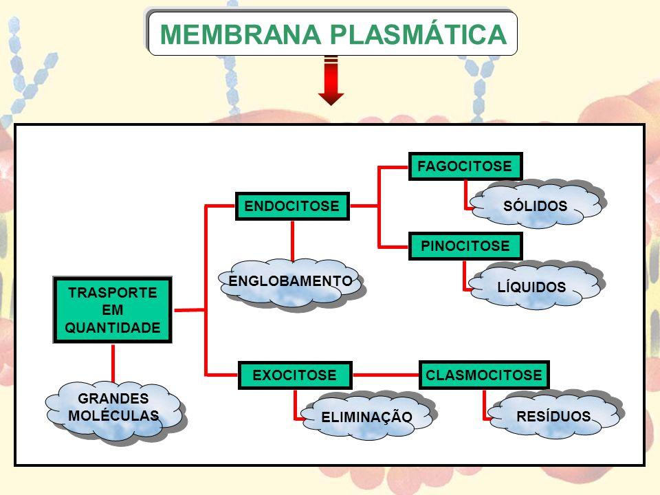 MEMBRANA PLASMÁTICA TRASPORTE EM QUANTIDADE ENDOCITOSE EXOCITOSE FAGOCITOSE PINOCITOSE CLASMOCITOSE GRANDES MOLÉCULAS ENGLOBAMENTO ELIMINAÇÃO RESÍDUOS