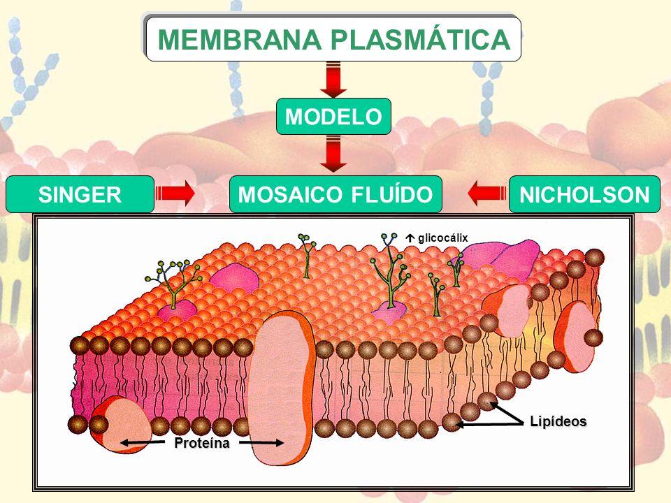 SINGER NICHOLSON Proteína Lipídeos MODELO MOSAICO FLUÍDO MEMBRANA PLASMÁTICA glicocálix