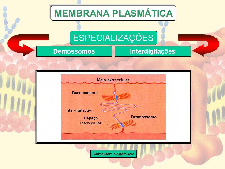 Meio extracelular Desmossomo Interdigitação Espaço intercelular Desmossomo ESPECIALIZAÇÕES DemossomosInterdigitações MEMBRANA PLASMÁTICA Aumentam a ad