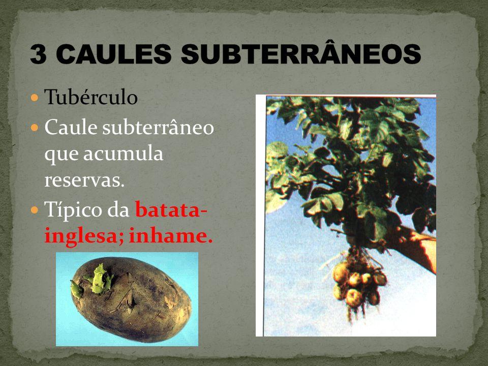 Tubérculo Caule subterrâneo que acumula reservas. Típico da batata- inglesa; inhame.