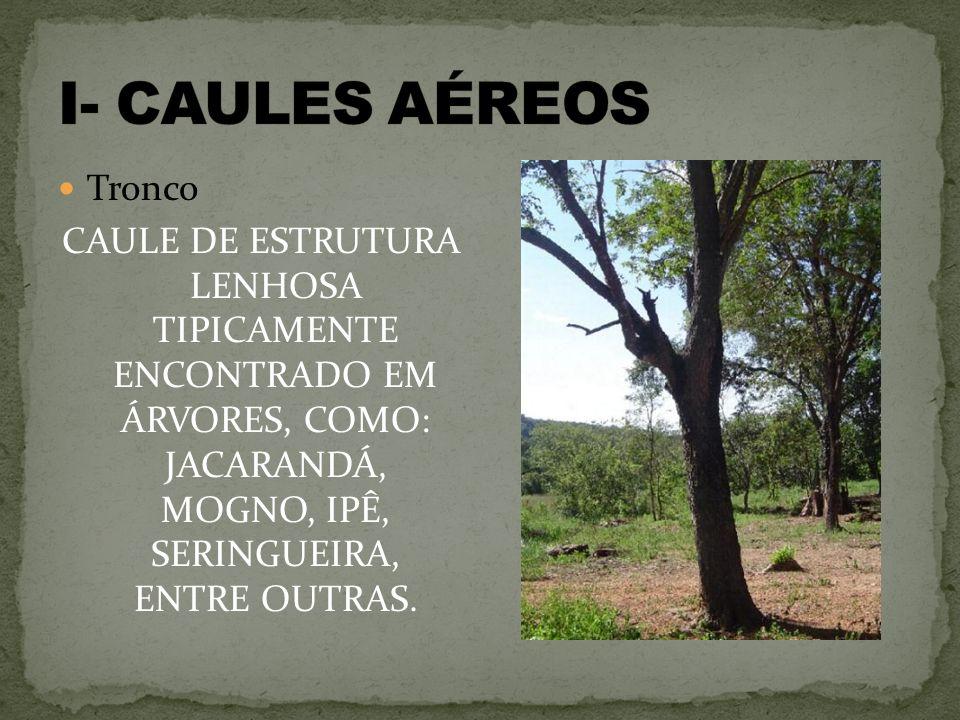 Tronco CAULE DE ESTRUTURA LENHOSA TIPICAMENTE ENCONTRADO EM ÁRVORES, COMO: JACARANDÁ, MOGNO, IPÊ, SERINGUEIRA, ENTRE OUTRAS.
