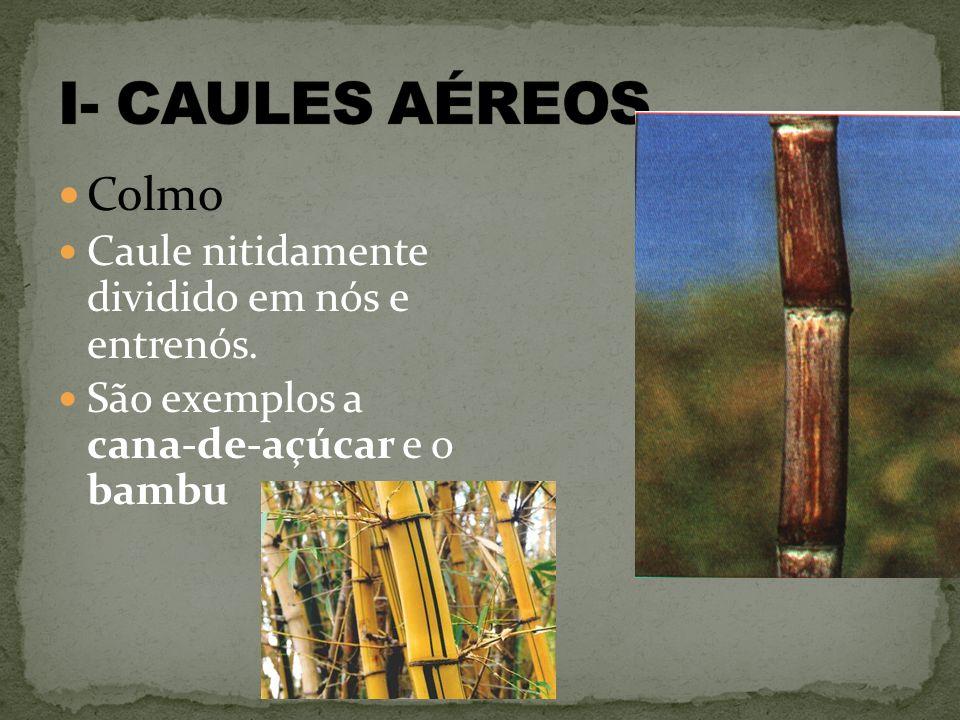 Colmo Caule nitidamente dividido em nós e entrenós. São exemplos a cana-de-açúcar e o bambu