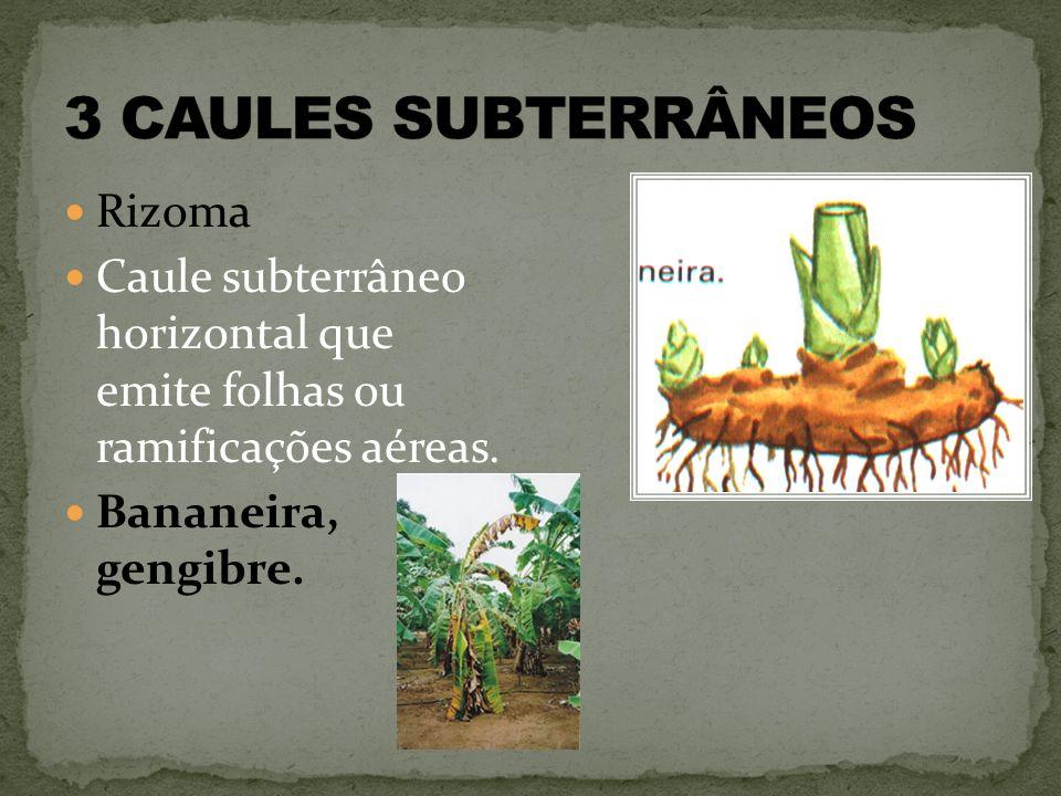 Rizoma Caule subterrâneo horizontal que emite folhas ou ramificações aéreas. Bananeira, gengibre.