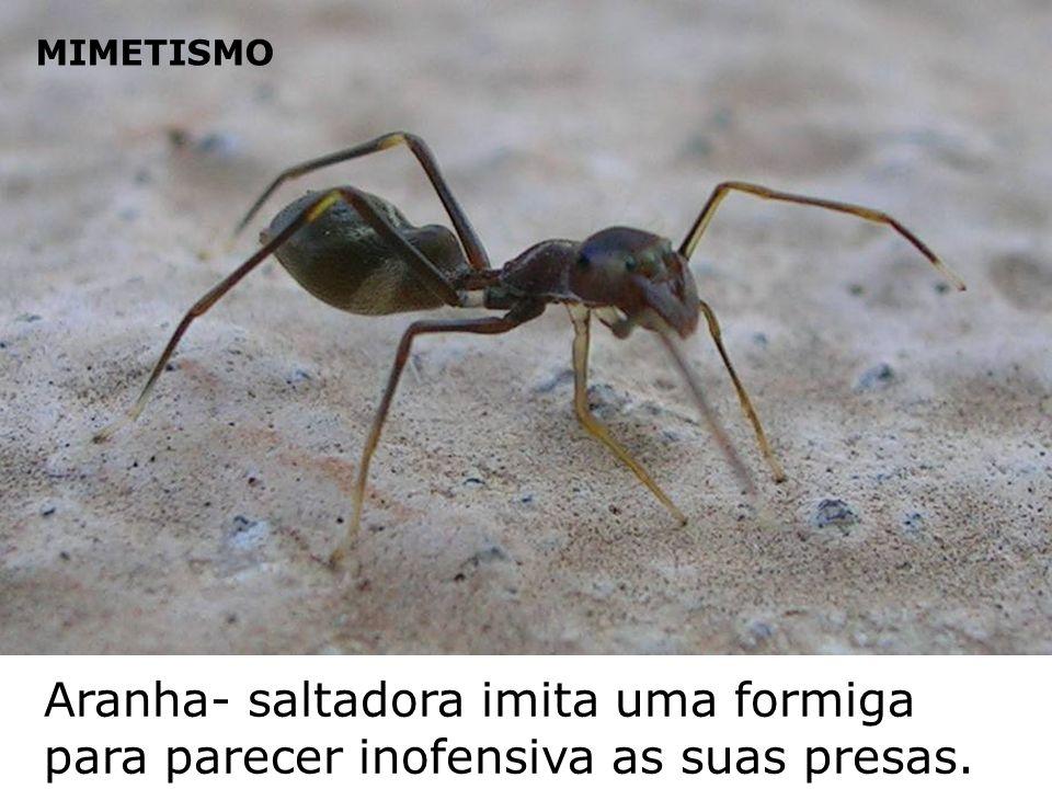 Aranha- saltadora imita uma formiga para parecer inofensiva as suas presas. MIMETISMO